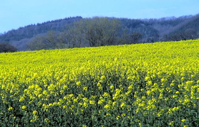 Oilseed rape near Stapleton, Herefordshire, UK, April 2007